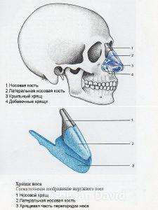 Анатомия носа